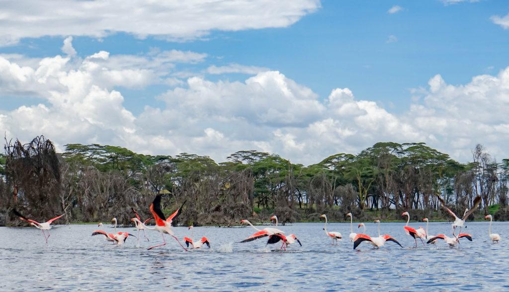 Chim hồng hạc tại một hồ nước.