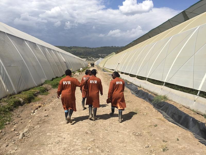 Nhân viên tại khách hàng năng lượng mặt trời Rift Valley Roses.