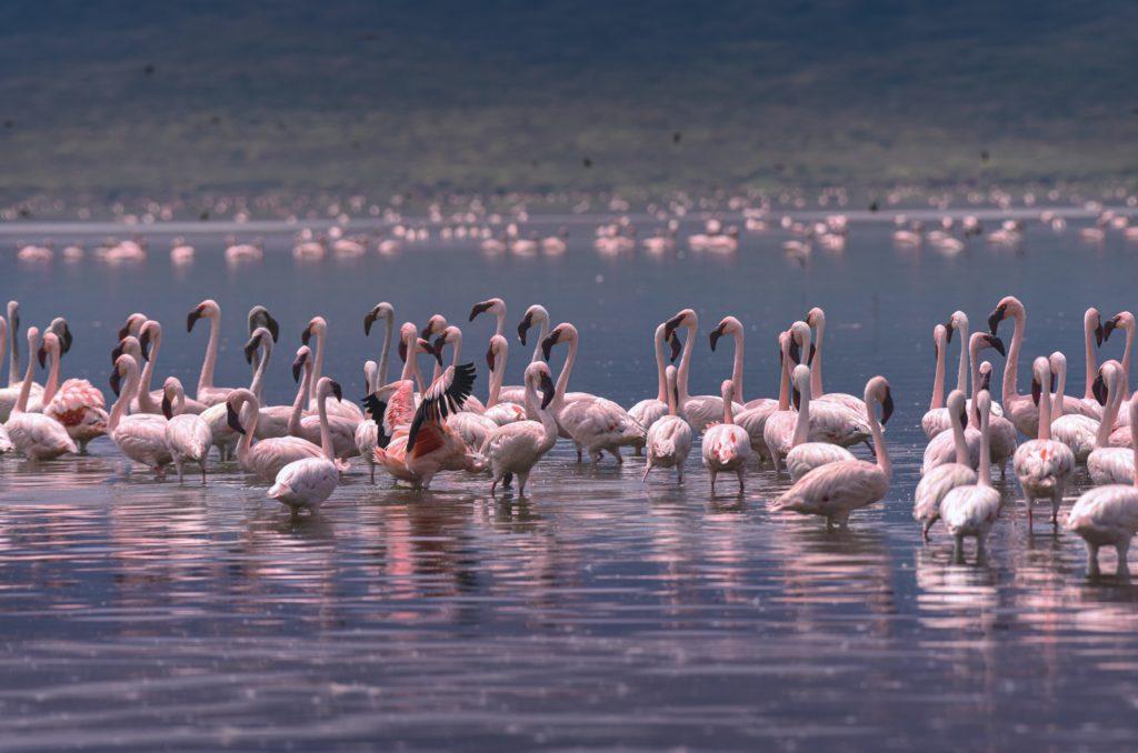 Pink flamingos laying on a lake