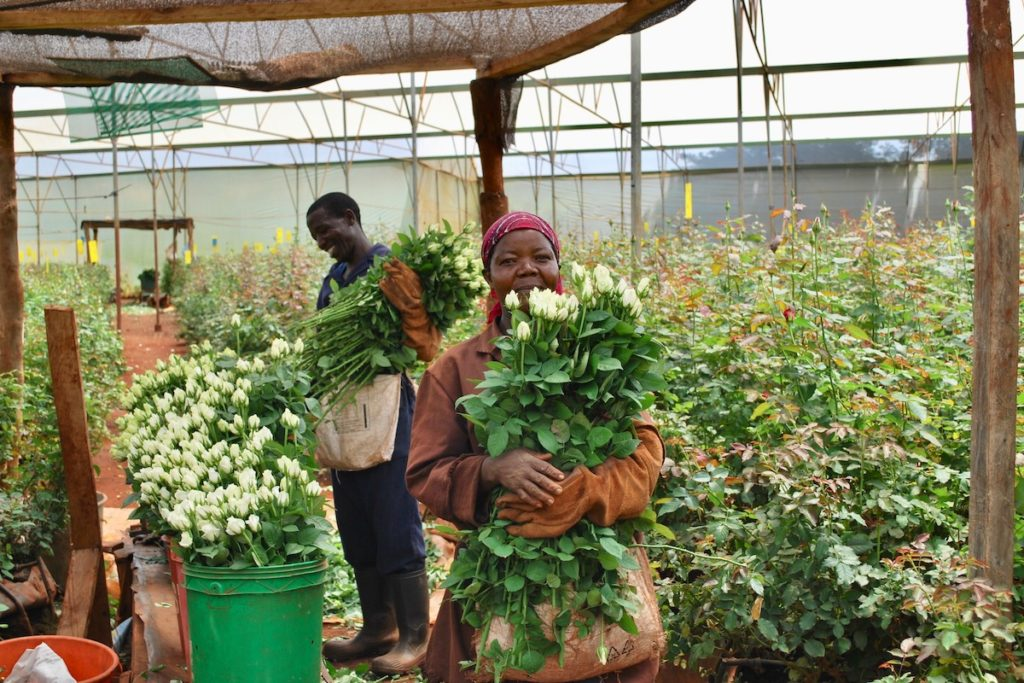 Local workers collecting flowers at the Penta Flowers Farm in Kenya